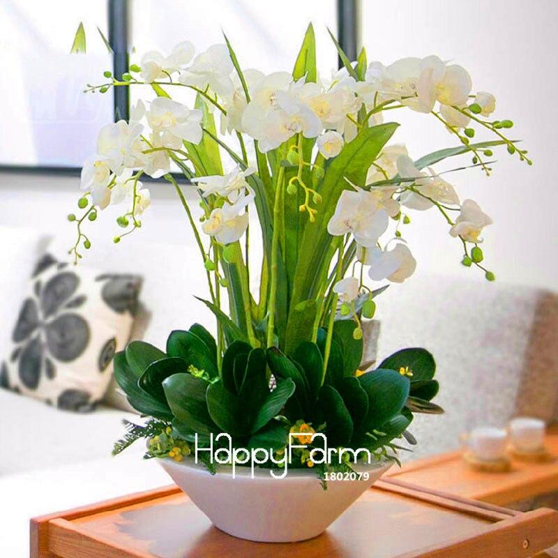 Tempo-Limite!! 100 unidades/pacote Bonsai vaso de Flores flores início jardim Das Plantas de Interior plantas de Orquídeas Phalaenopsis