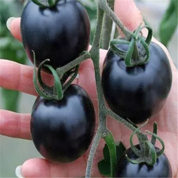 Sales! 300 Pcs Tomato Bonsai Rare Black Tomato Plant Bonsai Organic Vegetable Fruit Plant Potted Plant For Home & Gardens