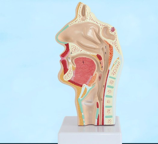Head Anatomy Anatomical Model of Human Mouth Nasal Cavity and Throat Oral Pathology Model Vascular Nerve Model Medical Teaching human median section of head oral pharynx anatomical model medical skeleton