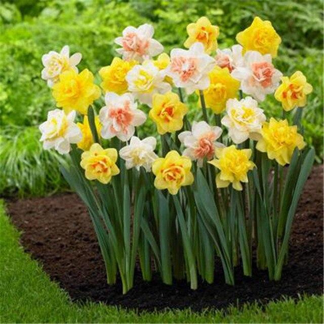 Mix daffodil narcissus garden bulb spring flowering fragrant mix daffodil narcissus garden bulb spring flowering fragrant perennial non gmo mightylinksfo