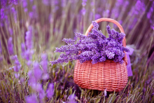 English Lavender Seeds, Lavender Angustifolia, Imported Vanilla Seeds of Native Species – 20 Pcs Seeds