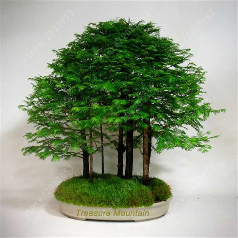 50 Pcs Amanhecer Redwood Forest-Bonsai Bonsai Árvore-glyptostroboides metasequoia