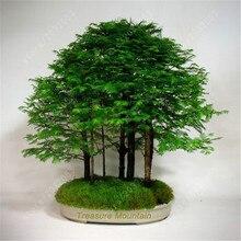 50 Pcs Dawn Redwood Forest Bonsai - Tree Metasequoia glyptostroboides