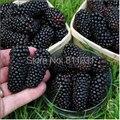 20 Seeds / pack, Preto sementes de amoreira Morus Nigra árvore Garden de Bush semente DIY início jardim frete grátis