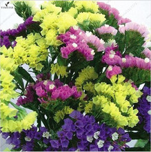 Statice Seeds (Limonium Sinuatum) 7colors mixed Statice flower seeds! Perennial Excellent as Cut or Dried Bouquets30seeds/bag(China)