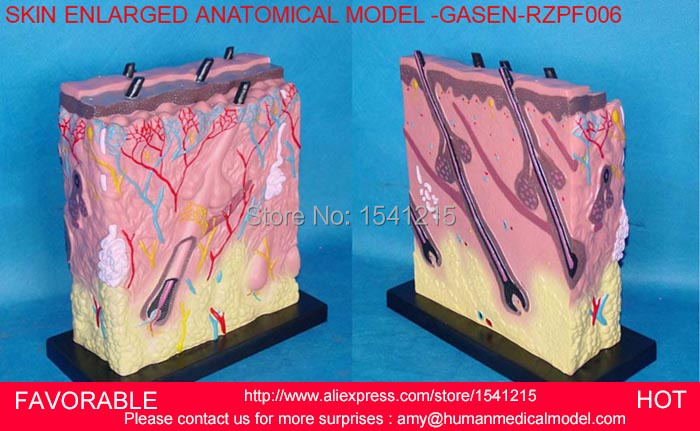 HUMAN SKIN BLOCK WITH HAIR ANATOMY ,MAGNIFY HUMAN ANATOMICAL SKIN TISSUE ANATOMY MED,SKIN ENLARGE ANATOMICAL MODEL-GASEN-RZPF006 skin block model 26 points displayed human skin anatomical model skin model
