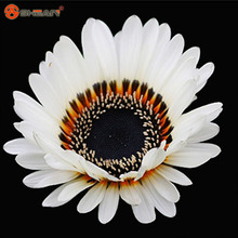 New Arrivals 100pcs / bag 22 Kinds Chrysanthemum Gazania Seed Perennial Flowering Plants Potted Flowers Seeds DIY Home Garden