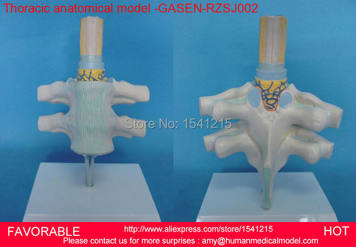 THORACIC SPINAL CORD,MODEL OF THE THORACIC VERTEBRA,THORACIC VERTEBRA WITH SPINAL CORD AND SPINAL NERVES MODEL -GASEN-RZSJ002 the rose cord