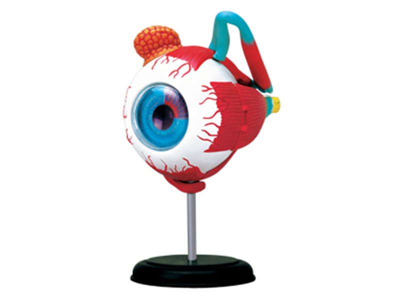 4D Human eyeball Muscular nerve organs Teaching Model for Anatomical Medicine puzzle toy Eye Medical Science Assembly model