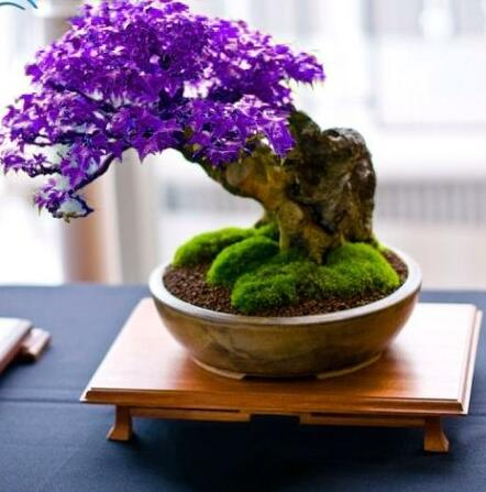 Purple Bonsai Maple Tree Seeds Mini Bonsai Tree For Indoor Plant Can