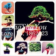 Bonsai 100 Pcs Mini Japanese Juniper Mixed Bonsai Starter Tree Juniperus Procumbens Nana Potted Plant For Home & Garden Decor