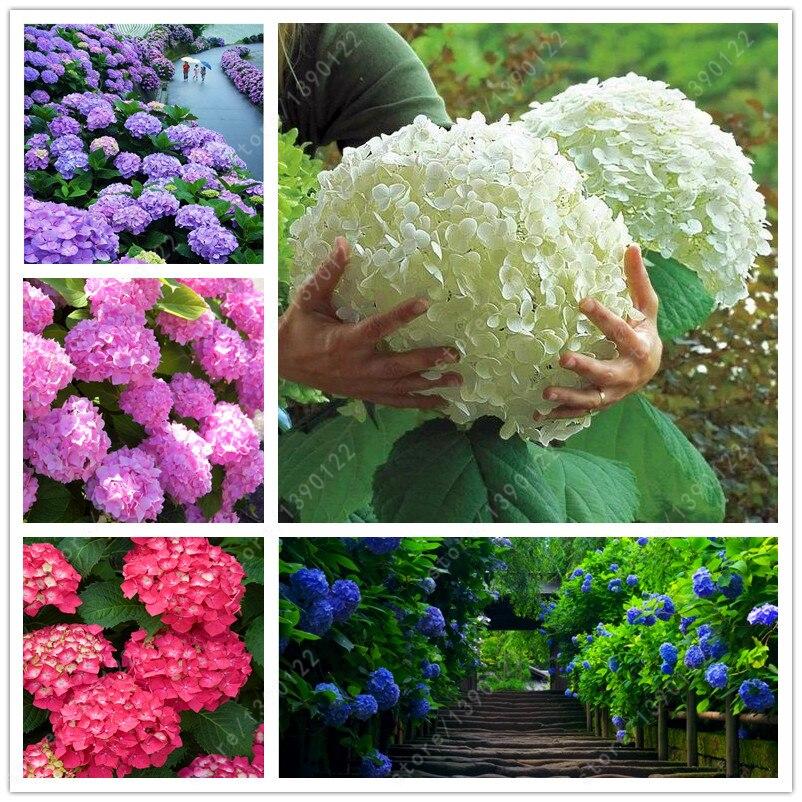 20 sementes / saco hortênsia semente, China hydrangea, Bonsai flor hortênsia, 11 cores da flor sementes, Crescimento Natural para casa jardim