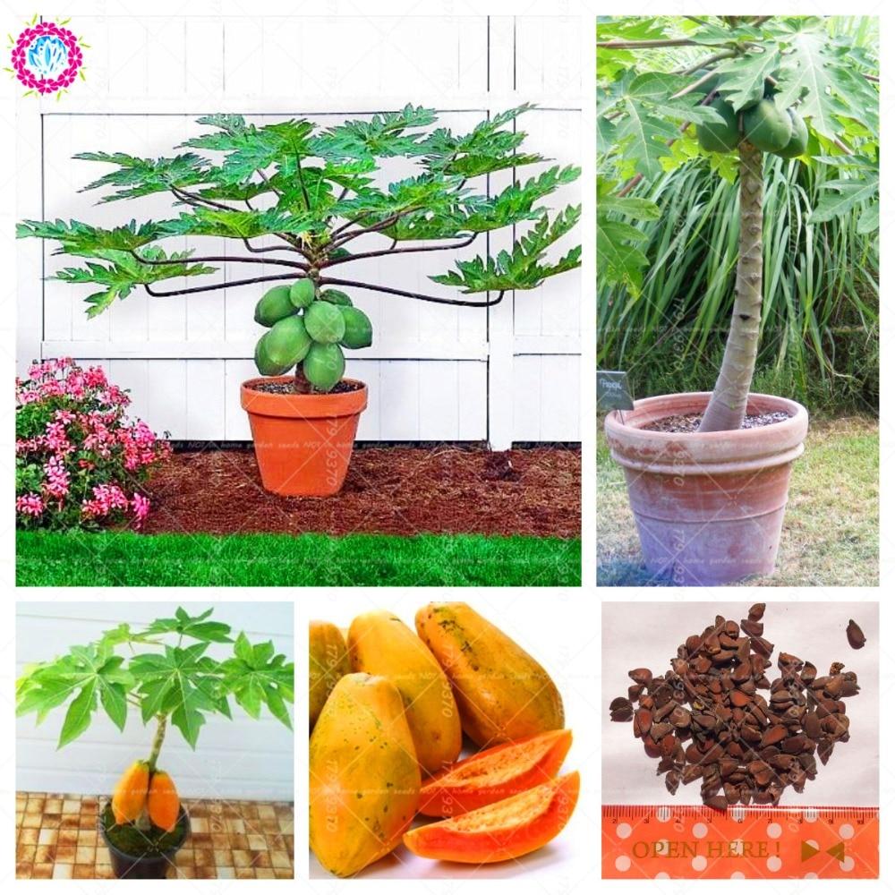 30 шт. папайи дерево бонсай китайское цветение айвы многолетнее овощей и фруктов для дома и сада растения в горшках