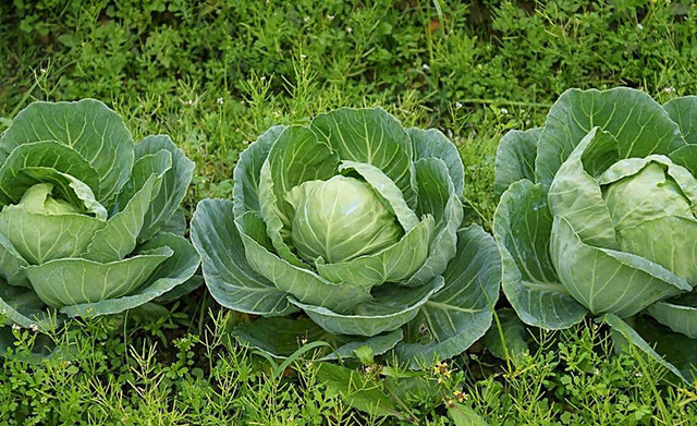 200pcs/bag giant cabbage seeds easy grow Delicious Fruits Vegetables Seed organic NO-GMO seeds free shipping for home garden