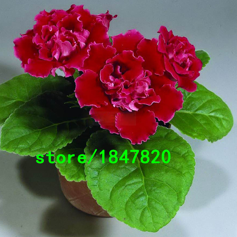 Hot Sale Red Gloxinia Seeds Perennial Flowering Plants Sinningia Speciosa Bonsai Balcony Flower for DIY Home Garden 100 PCS