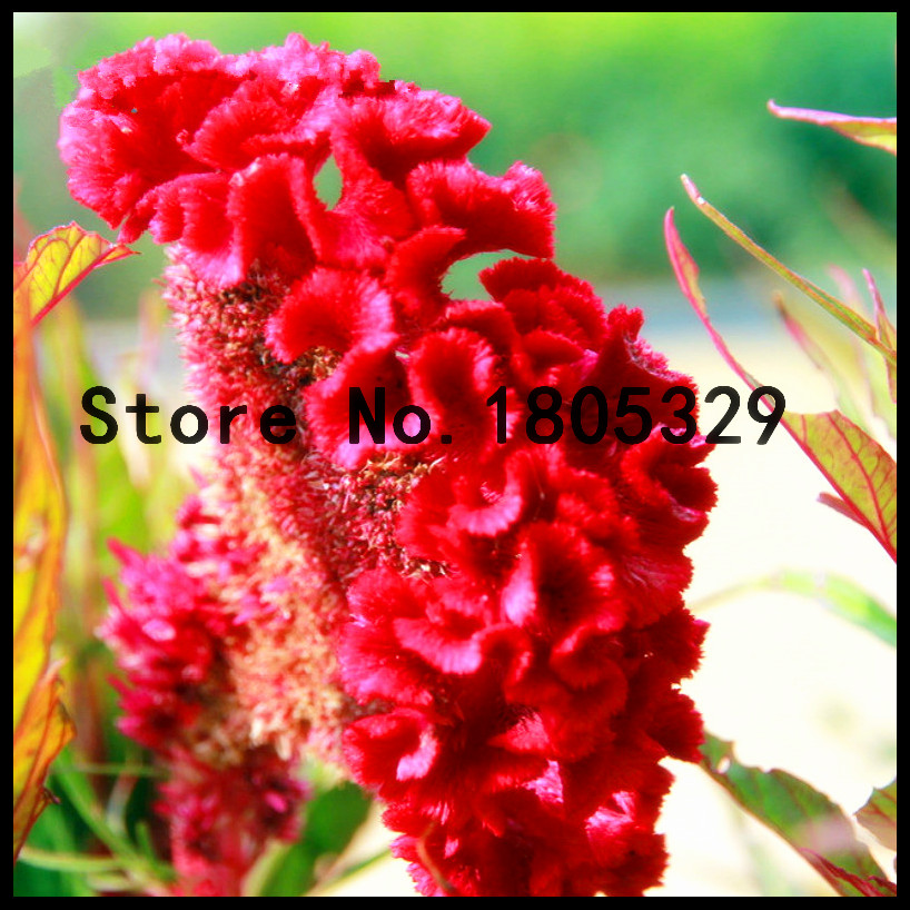 100 Particles A Bag Cockscomb Seeds Potted Bonsai Flower Variety Complete The Budding Rate 95% Diy Home Garden Flowers Plants
