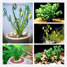 Big promotio 200 Pcs Spring Grass Plant Succulents Grass DIY bonsai Potted Garden Home Exotic beautiful Plant Spiral bonsai(China)