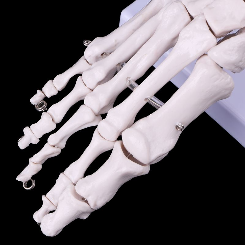 Image 5 - Life size Foot Ankle Joint Anatomical Skeleton Model Medical Display Study Tool Medical Science Stationery for School-in Medical Science from Office & School Supplies