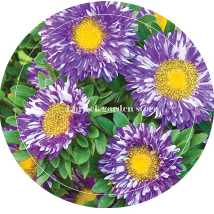 Bellfarm Bonsai Rare Imported Mixed 5 Types Of Aster Flower Purple