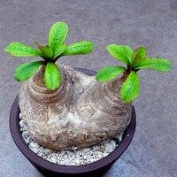 Raros sementes de plantas Suculentas 1 Peça Euphorbia primulifolia sementes, Euphorbiaceae especial sementes para casa jardim bonsai plantio