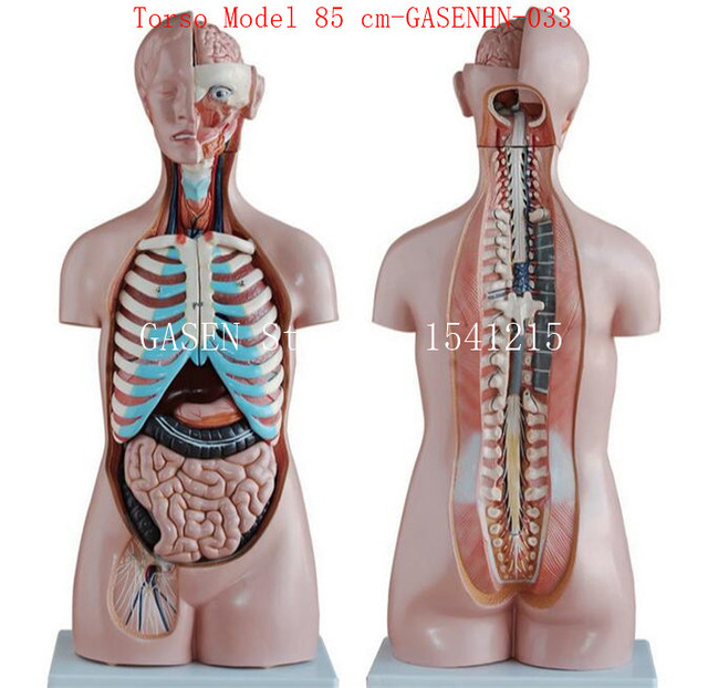 Aliexpress Buy Visceral Anatomy Male Female Anatomical Trunk