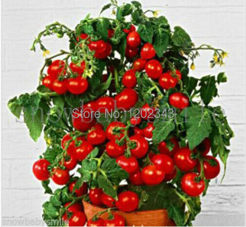 50+ Bonsai Tomato seeds Mini Cherry Potted Sweet Fruit Vegetable Organic Fresh