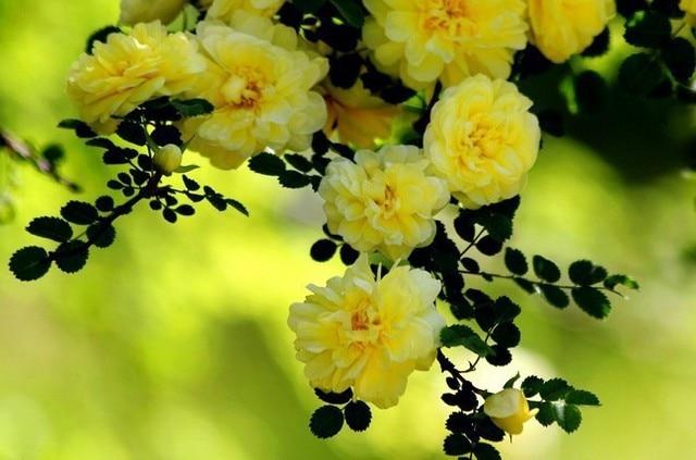 New Beautifying Bonsai Windowsill Free Shipping 50 Pcs Yellow Climbing Vines Rose Great Garden