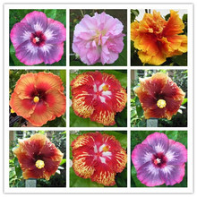 Promotion! 200pcs Hibiscus seeds 24kinds HIBISCUS ROSA-SINENSIS Flower seeds Free shipping