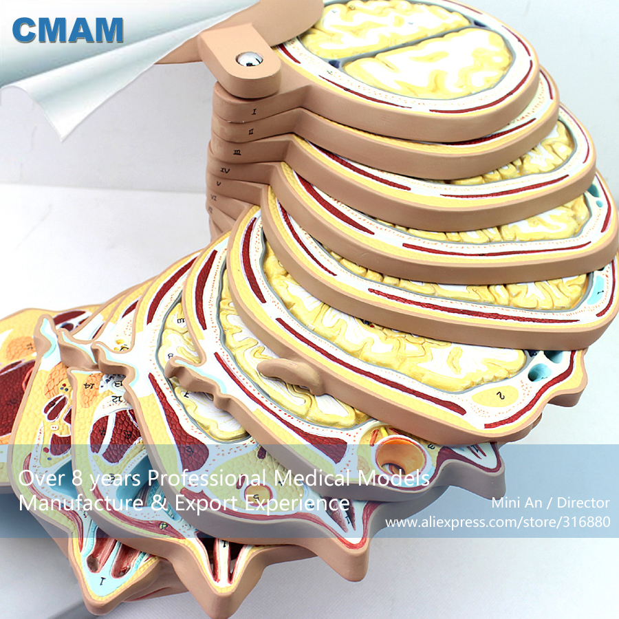 12398 CMAM-BRAIN01 Horizontal Cutting Anatomy Model of Head and CTMRI Brain,  Medical Science Teaching Anatomical Models 12400 cmam brain03 human half head cranial and autonomic nerves anatomy medical science educational teaching anatomical models