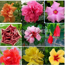 Free Shipping 100% Genuine 100pcs 10kinds Mix-color HIBISCUS ROSA-SINENSIS - bonsai flower plants