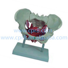 BIX-A1025 Female Pelvis model, With Pelvic Floor Muscle Australia Freight Free, AU Freight Free, Japan Freight Free WBW249