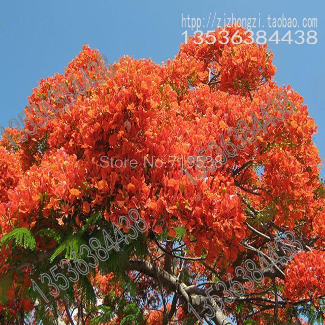 Poinciana Safflower Seed Jacaranda Trees Goldilocks Wholesale