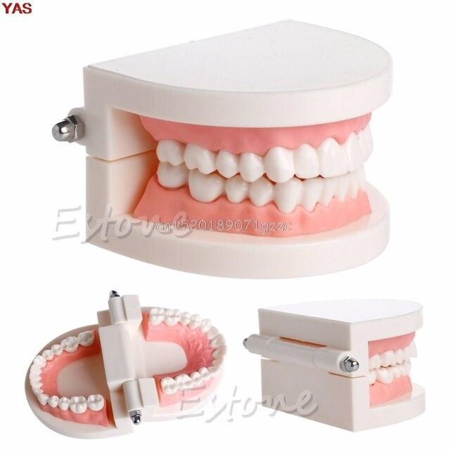 Nuevo los dientes de adulto modelo Dental estándar enseñanza estudio Typodont herramienta de demostración # H027 #