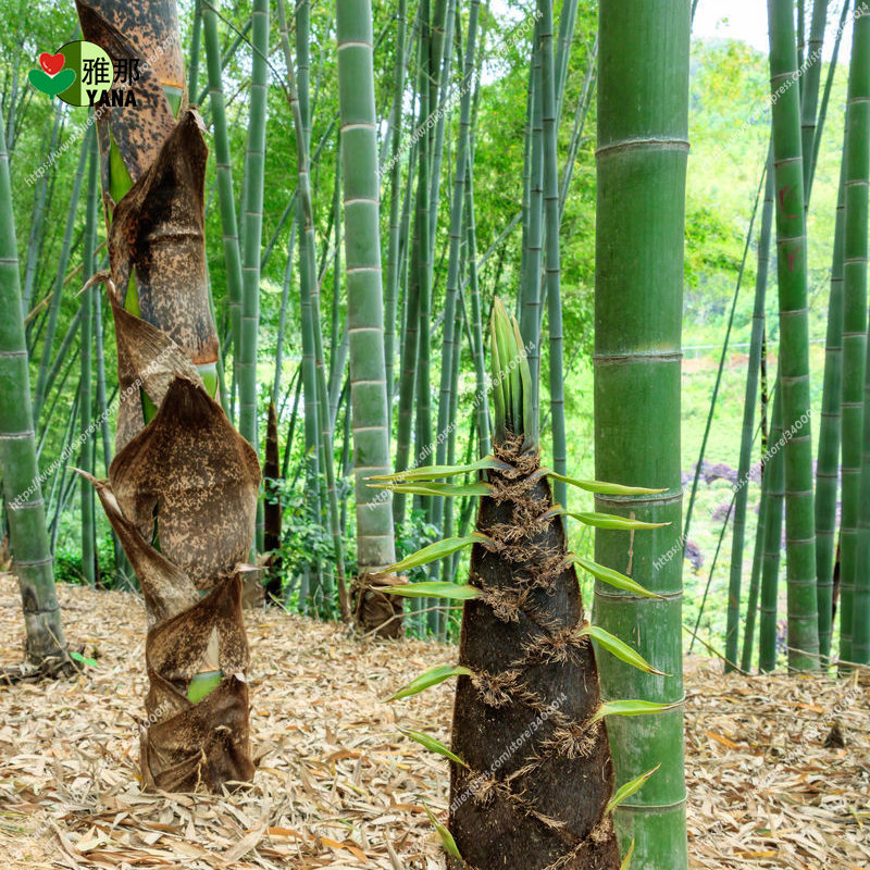 Big Bamboo Fahrgeschäft