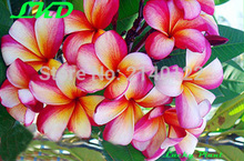 7-15inch Rooted Plumeria Rubra Plant Thailand Rare Real Frangipani Plants no193-panorama