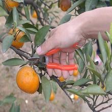 De alta qualidade em aço inoxidável tesouras de laranja pequeno fruto de cisalhamento tesoura de jardinagem poda de árvores de fruto de frutas especialistas