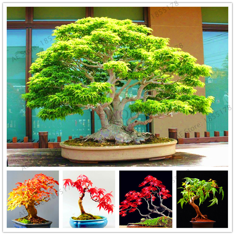 54pcs Purple Blue Ghost Japanese Maple Tree Bonsai Flower Flores Tree Plantas Potted Plant For Home And Garden Buy At The Price Of 0 23 In Aliexpress Com Imall Com
