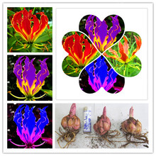 2 Bulb Flame Lilies (Not Seeds) , Rare Flower Garden Plant , Balcony Bonsai Courtyard Plant Flowers Lily