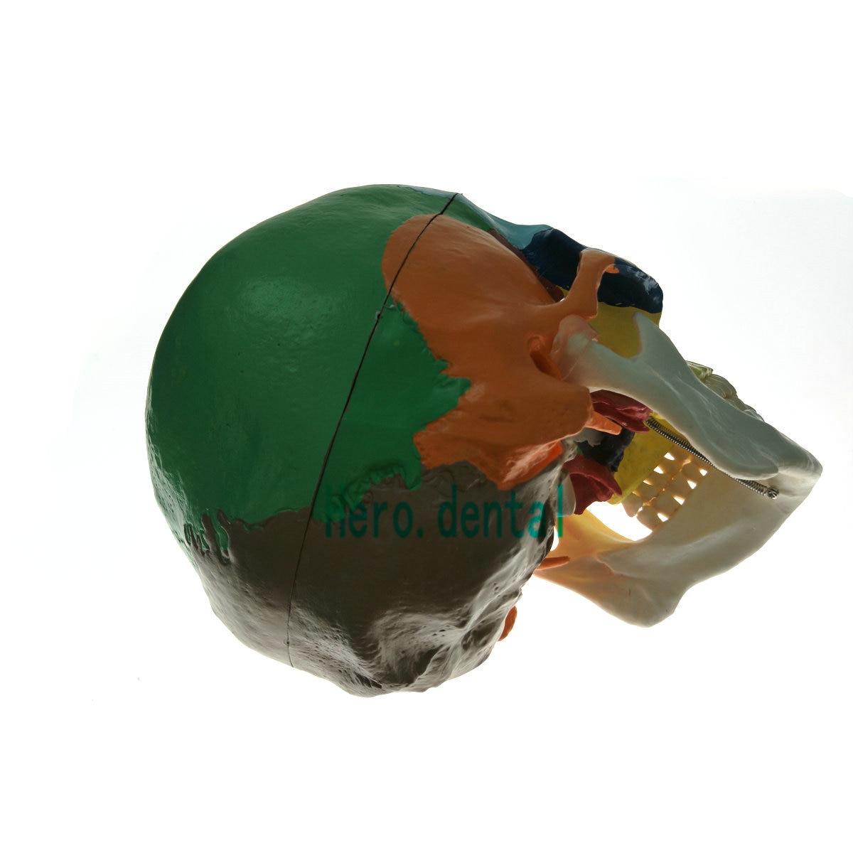 Modèle de crâne humain anatomique coloré dentaire 3 pièces modèle d'enseignement en céramique blanc - 3