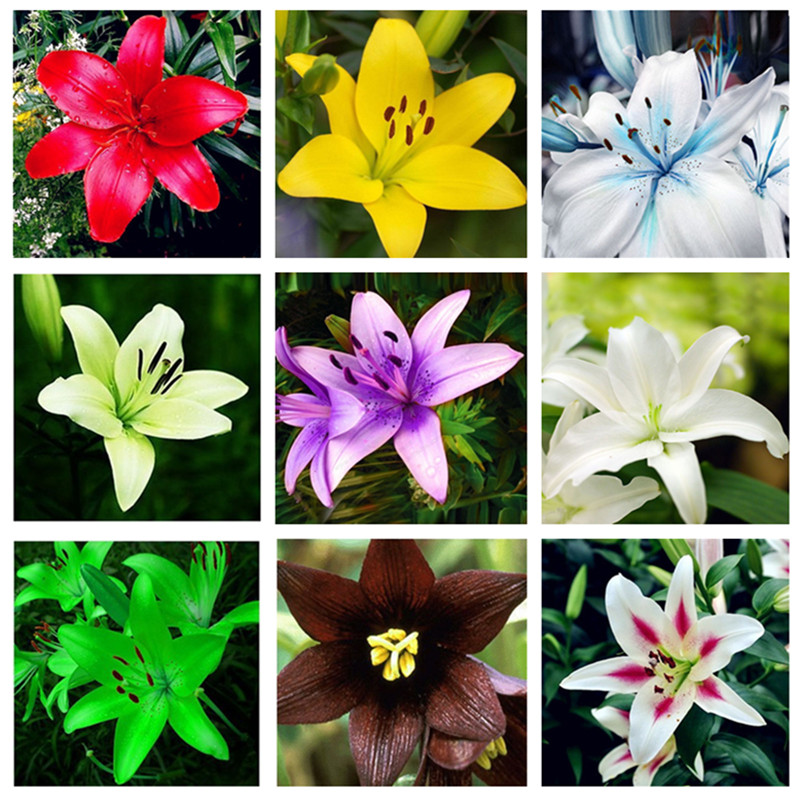 Rare Lily Potted Not Lily Bulbs It Is Bonsai Lilum Flower Outdoor Perennial Pleasant Fragrance Plant For Home & Garden 300 Pcs
