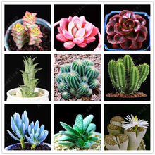 100pcs rare mini Cactus bonsai mix succulente piante ornamentali Lithops succulente per la casa giardino interno piante balkon(China)