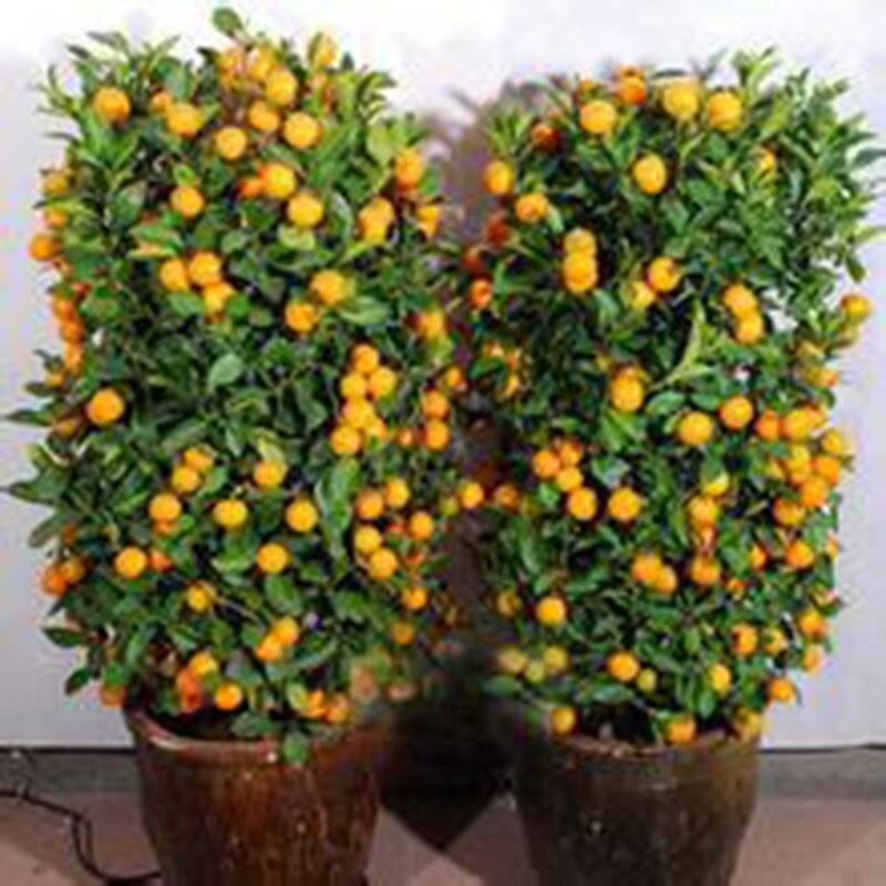 30 pcs/pack Fruit Mandarin Citrus Orange Tree Seeds Popular Ornamental Bonsai Orange Seeds for Home Garden