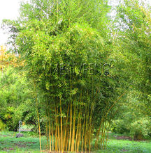 Big Sale!Bamboo Phyllostachys Pubescens Rare Giant Bamboo bonsai Bambusa Lako Tree plant For Home Garden Plant,20flores(China)