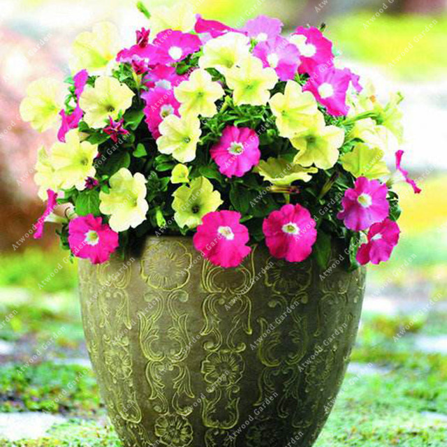 ZLKING 100pcs Garden Petunia Flower Bonsai Plants For Home Garden Exotic Plant Species Super Natural Products 1