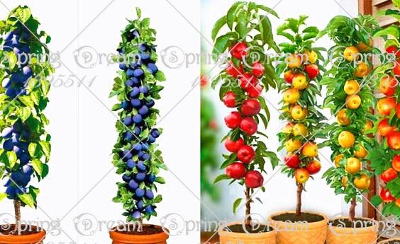 2 kind fruit ,bonsai fruit tree seeds,10pcs cherry 100pcs blueberry vegetable and fruit seeds