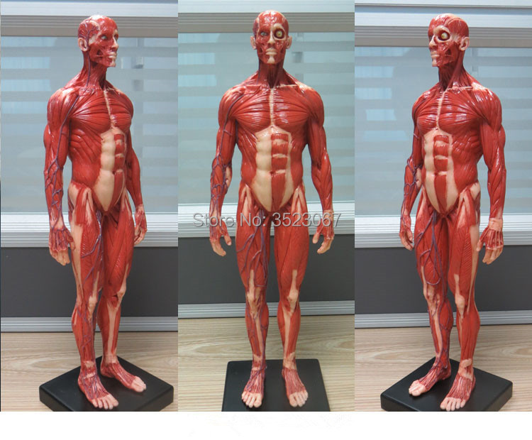 Male 16 Anatomy Fig V3 Superficial Muscle System Human Skeleton