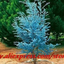 20 Impressive Maple Gunnii Cider Eucalyptus Poppy Seed Seeds, Ornate Colors
