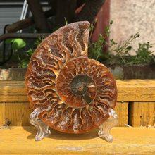 Madagascar fósilos iridescentes ammonita pedras naturais e minerais espécie masculina + suporte