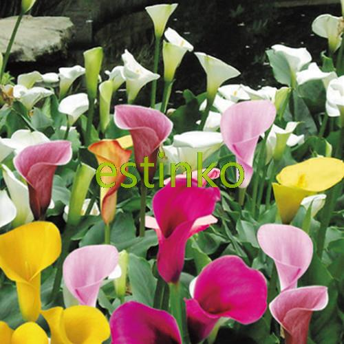 20pcs/lot Mix-colors Calla Lily Seeds Zantedeschia Aethiopica Seeds Flower Bonsai Plant DIY Home Garden