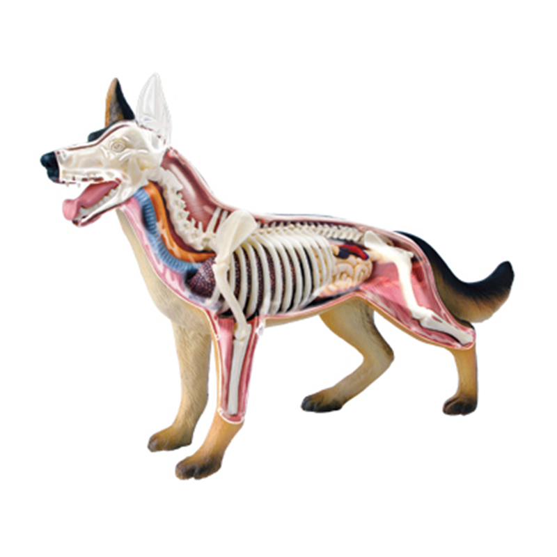 4D Intelligence de chien assemblage jouet modèle d'anatomie d'orgue Animal enseignement médical bricolage appareils scientifiques populaires